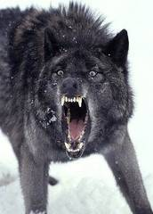 Rabid_Wolf.jpg